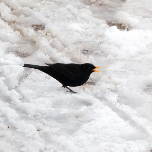 Winter: male blackbird in snow