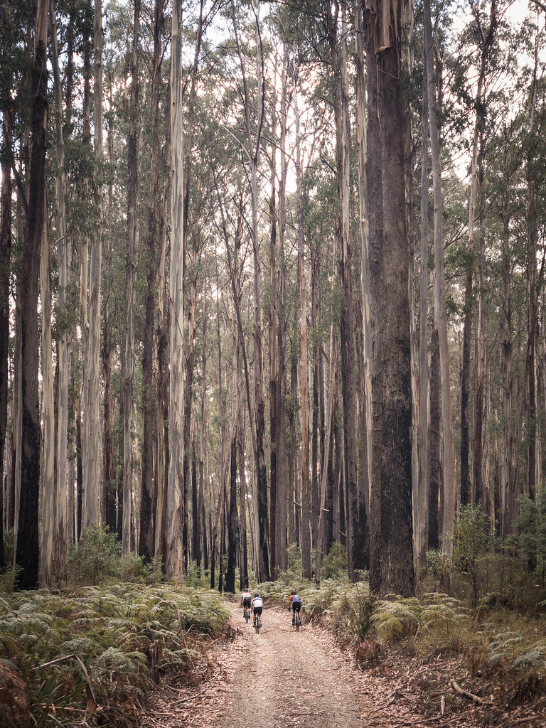 Cyclists riding a dirt path through tall gum trees