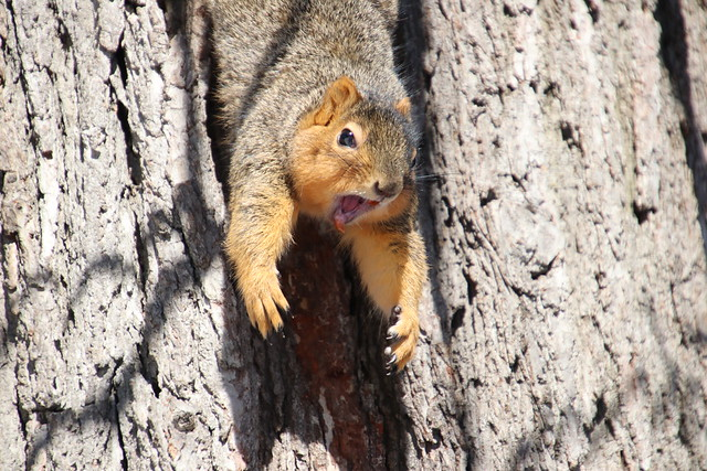 224/365/3876 (January 21, 2019) - Fox Squirrels on Squirrel Appreciation Day at the University of Michigan (January 21st, 2019)