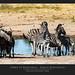 Zebra di Burchelli - Equus burchellii @Kruger National Park South Africa