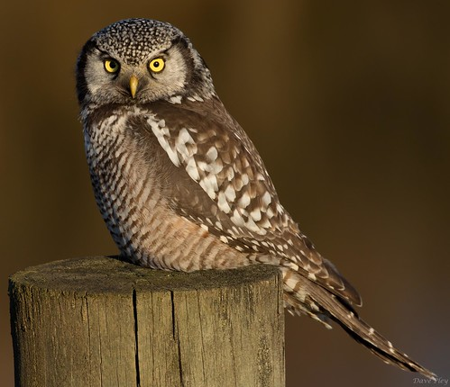 Northern Hawk Owl closeup