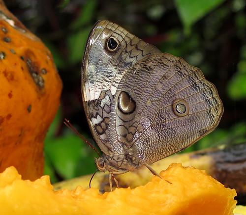 Opsiphanes tamarindi