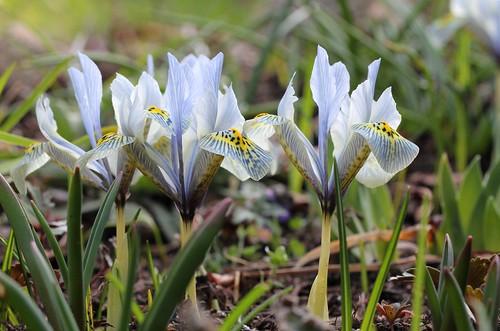 Iris winogradowii x histrioides 'Katharine Hodgkin'  47319594991_16b8253abd