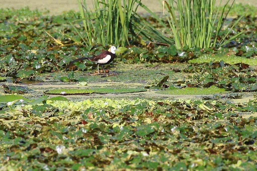 棲地營造後,劉孝伸拍攝到水雉在美濃湖旁濕地生蛋育雛畫面。圖片來源:劉孝伸。