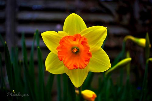 0249 Narcis