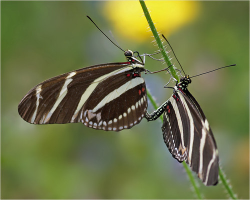 Zebra heliconians in love