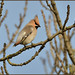 Waxwing (image 2 of 3) by Full Moon Images