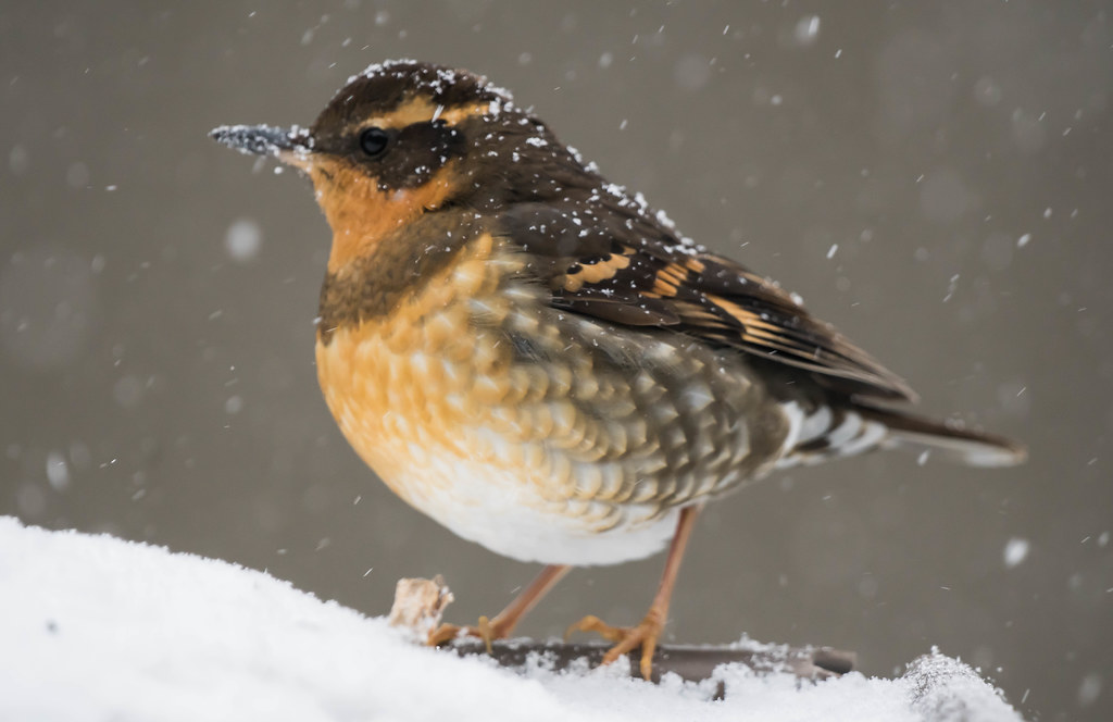 Varied Thrush (1 of 1)