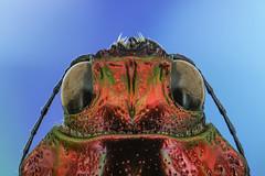 Jewel Beetle Head