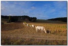 Vaches en ligne, Castelnau de Montratièr (Lot, France)
