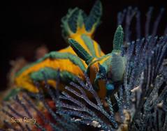 Robroastra tentaculata feeding on a bryozoan.