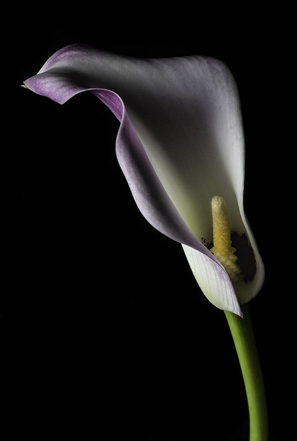 Calla Lily In The Light