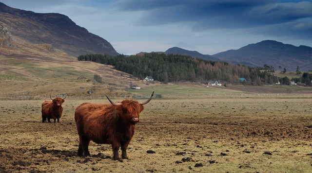 Pg194215 Highland cattle