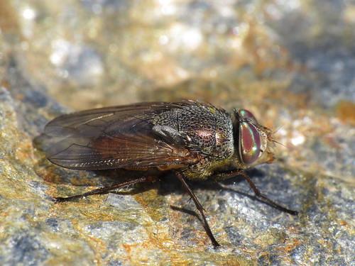 Rhyncomya columbina make (Calliphoridae)