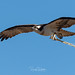 Osprey of the Jersey Shore | 2019 - 3
