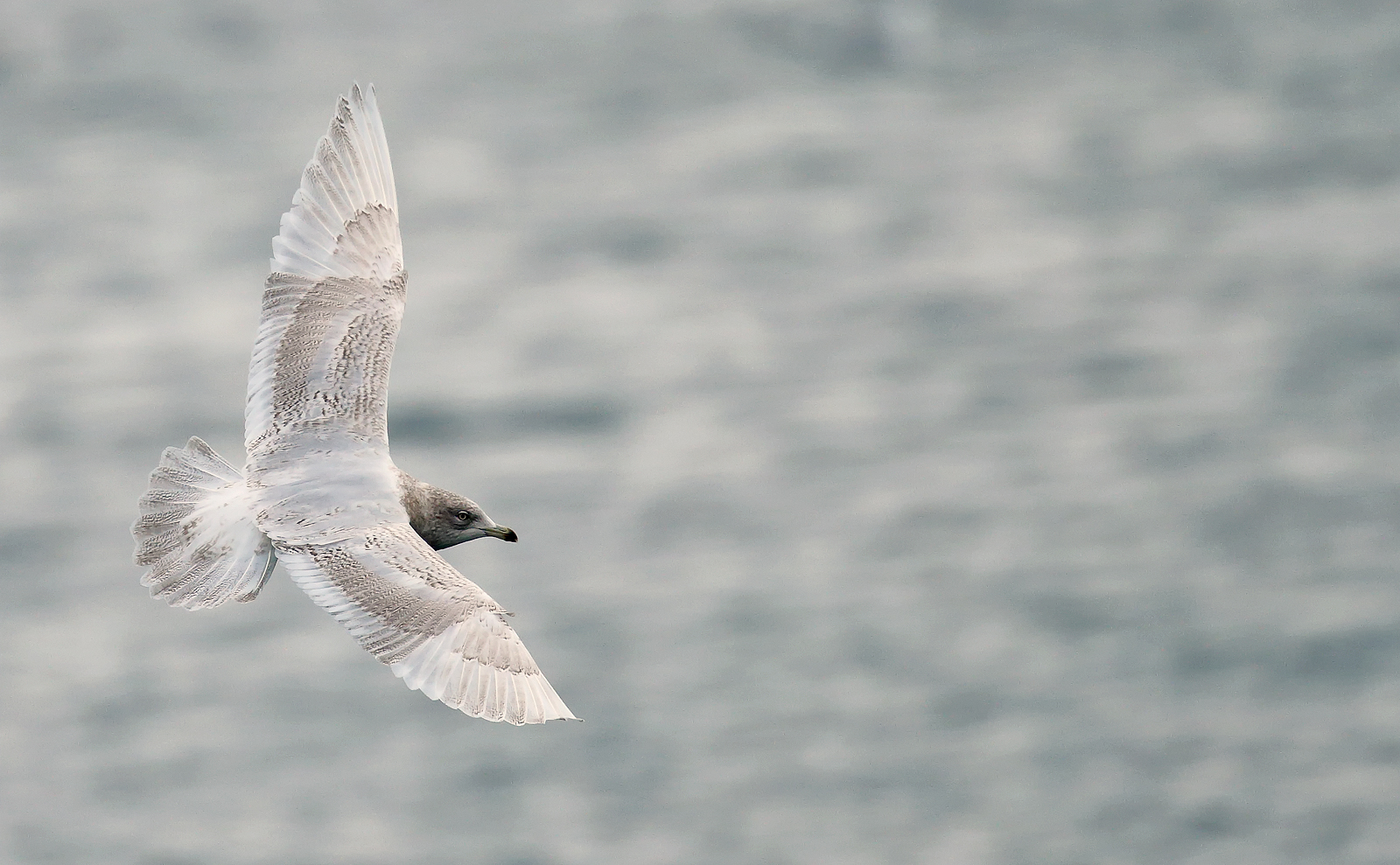Iceland Gull - 2nd winter