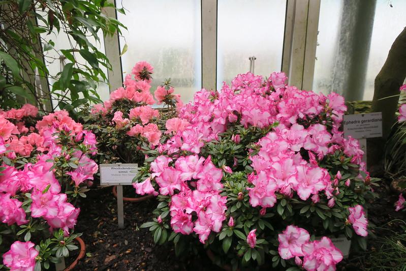 """Rhododendron simsii """"Madame Theo Simon"""""""