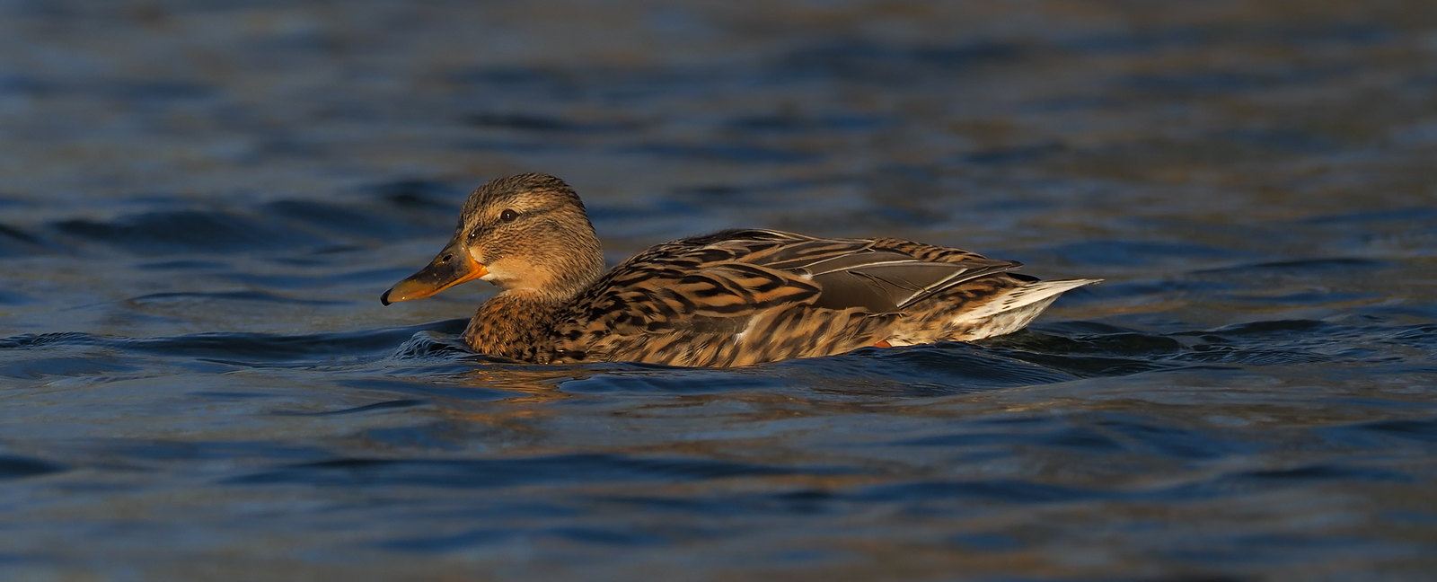Female Mallard in evening light