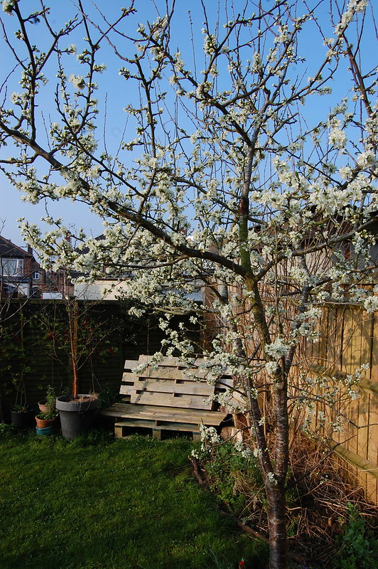 Prunus domestica 'Herman'