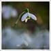 Snowdrop-0577