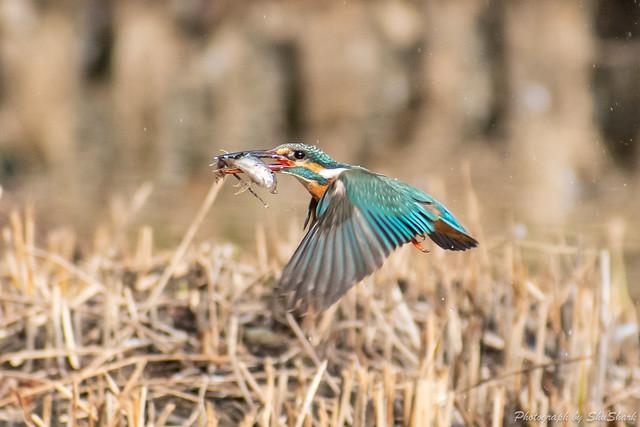 20190216-kingfisher-DSC_1300