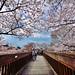 Sakura , 七谷川,龜岡,京都