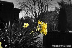 Daffodil Flower - Streatham Cemetery