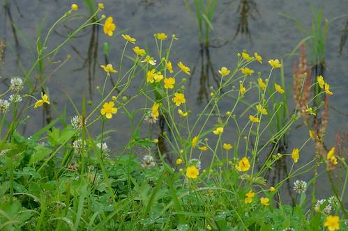 ウマノアシガタ/Ranunculus japonicus
