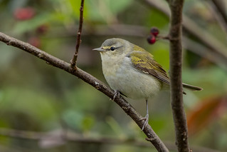 Tennessee warbler in Colombia