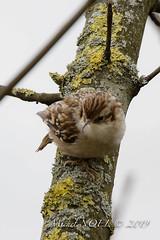 Grimpereau des jardins - Certhia brachydactyla - Short-toed Treecreeper : Michel NOËL © 2019--3.jpg