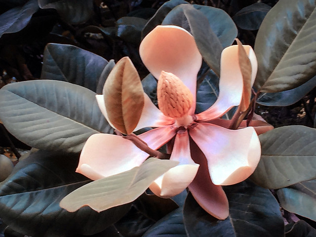Chinese Evergreen Magnolia