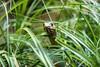 Šírohlavec východní (Malpolon insignitus )