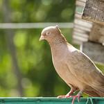 Pets pigeon