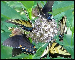 Bunches of Butterflies  Shenandoah National Park