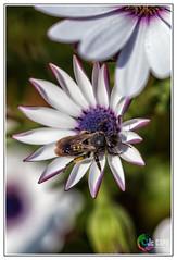 """L' Abeille : """"Nous voyons l'abeille se poser sur toutes les plantes et tirer de chacune le meilleur.""""  Isocrate - Photo of Fontenilles"""