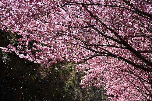 武陵農場賞櫻花-櫻花雨