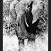 Elefante africano - Loxodonta africana @Kruger National Park South Africa
