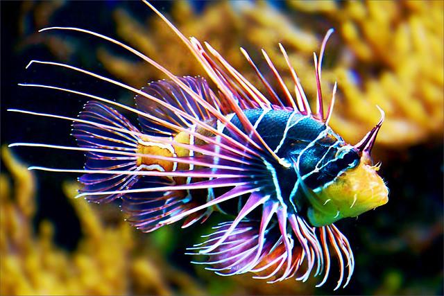Strahlenfeuerfisch, Pterois radiata