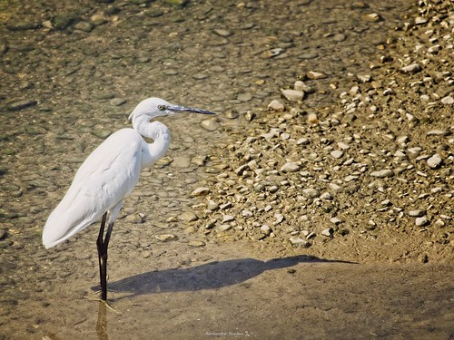White Egret stand in the river - Italy
