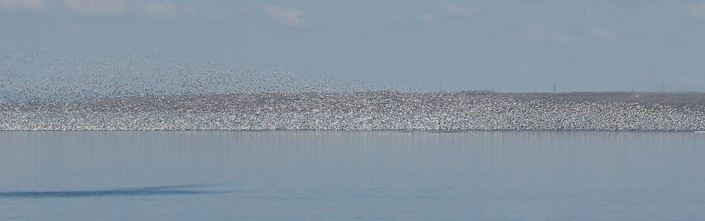 Snow geese 2 (1 of 1)