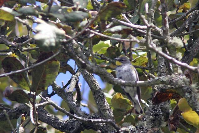 Yellow rumped Warbler 'audubon's'