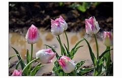 L'autre pays des tulipes (III) - Photo of Ganagobie