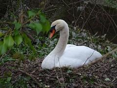 Pretty, stupid swan