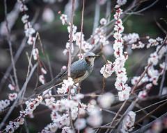 Bulbul and blossoms