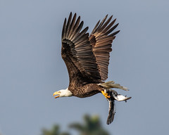 American Bald Eagle Inflight with a Bird