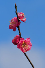 Japanese plum blossoms (Prunus mume, 梅)