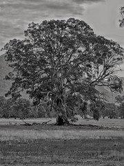 This particular tree is a favorite whenever I visit The Grampians (Gariwerd). The tree is in the beautiful Victoria Valley area on scenic drive from Dunkeld to Cavendish. Processed in Snapseed to B&W.