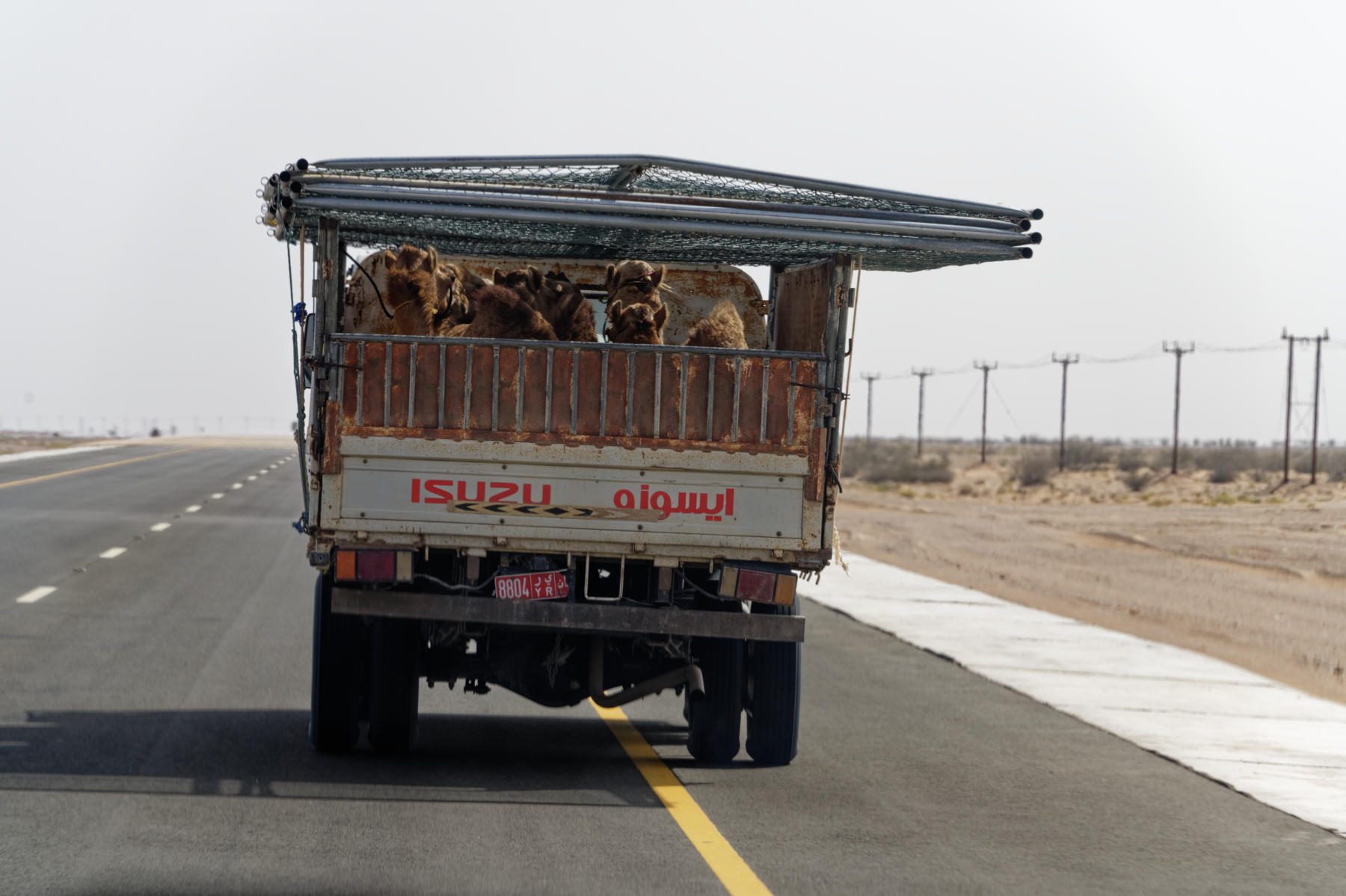 Moving camels in bulk, Oman style