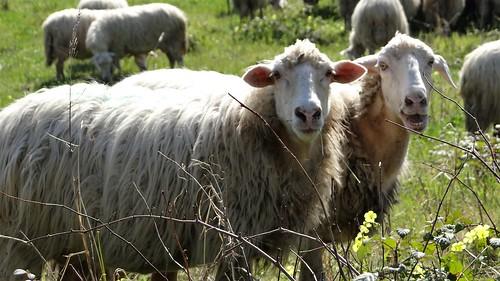 Vita da pecora - Calabria