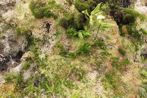 Pico vegetation density 1